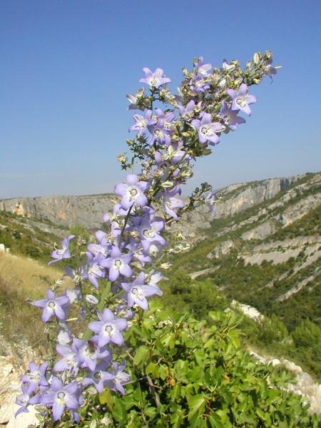 A tornyos harangvirág jellemzően egy adriai  őshonos növényfaj, melyet a Krka Nemzeti Park egész területén  megtalálunk.