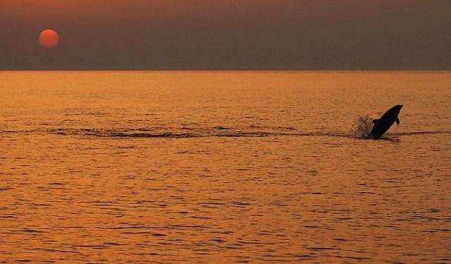 A palackorrú delfin a Telašćica Természeti Park gyakori látogatója